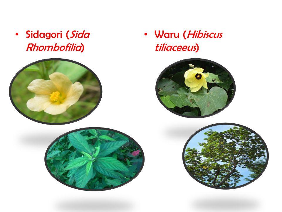 Sidagori (Sida Rhombofilia) Waru (Hibiscus tiliaceeus)