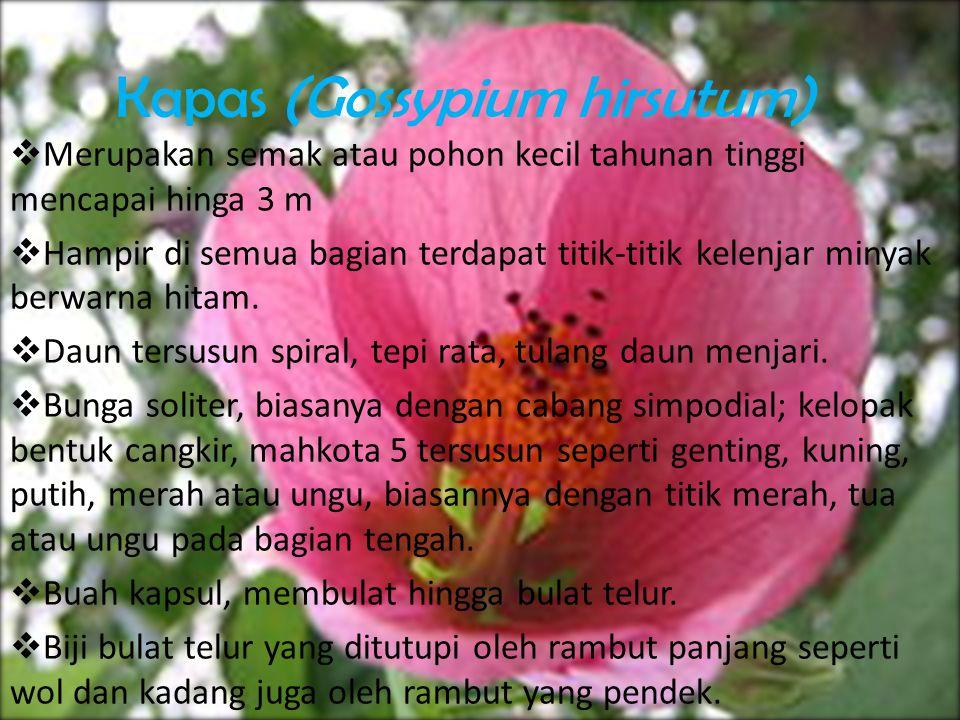 Kapas (Gossypium hirsutum)  Merupakan semak atau pohon kecil tahunan tinggi mencapai hinga 3 m  Hampir di semua bagian terdapat titik-titik kelenjar