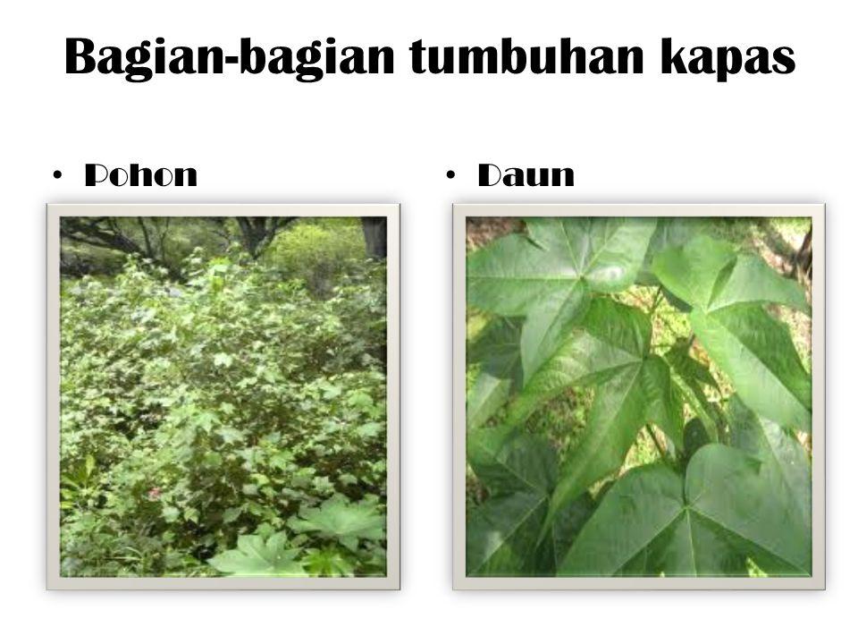 Bagian-bagian tumbuhan kapas Pohon Daun