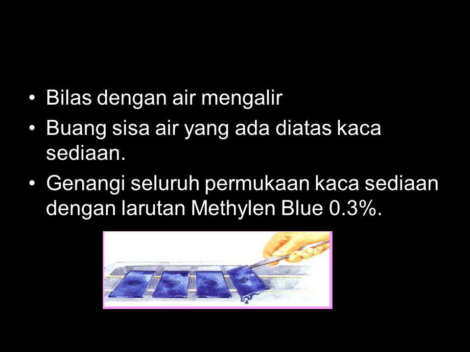 Bilas dengan air mengalir Buang sisa air yang ada diatas kaca sediaan. Genangi seluruh permukaan kaca sediaan dengan larutan Methylen Blue 0.3%.