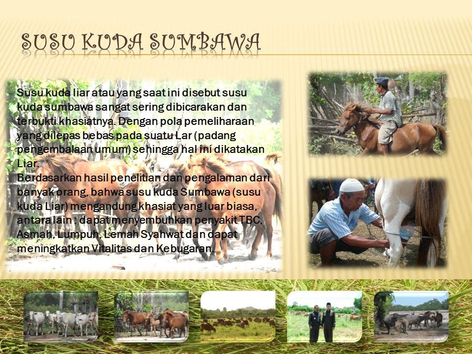 Susu kuda liar atau yang saat ini disebut susu kuda sumbawa sangat sering dibicarakan dan terbukti khasiatnya. Dengan pola pemeliharaan yang dilepas b