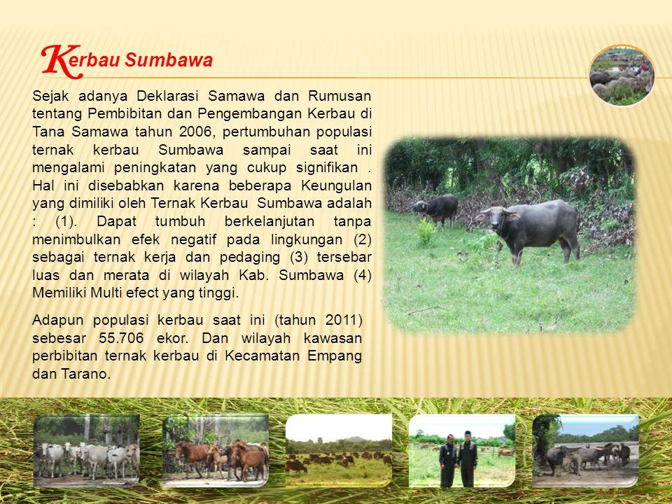 erbau Sumbawa Sejak adanya Deklarasi Samawa dan Rumusan tentang Pembibitan dan Pengembangan Kerbau di Tana Samawa tahun 2006, pertumbuhan populasi ternak kerbau Sumbawa sampai saat ini mengalami peningkatan yang cukup signifikan.