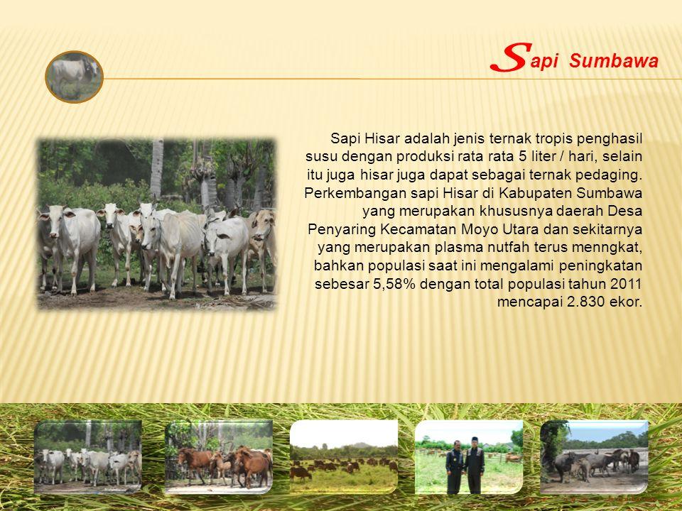 Sapi Hisar adalah jenis ternak tropis penghasil susu dengan produksi rata rata 5 liter / hari, selain itu juga hisar juga dapat sebagai ternak pedagin