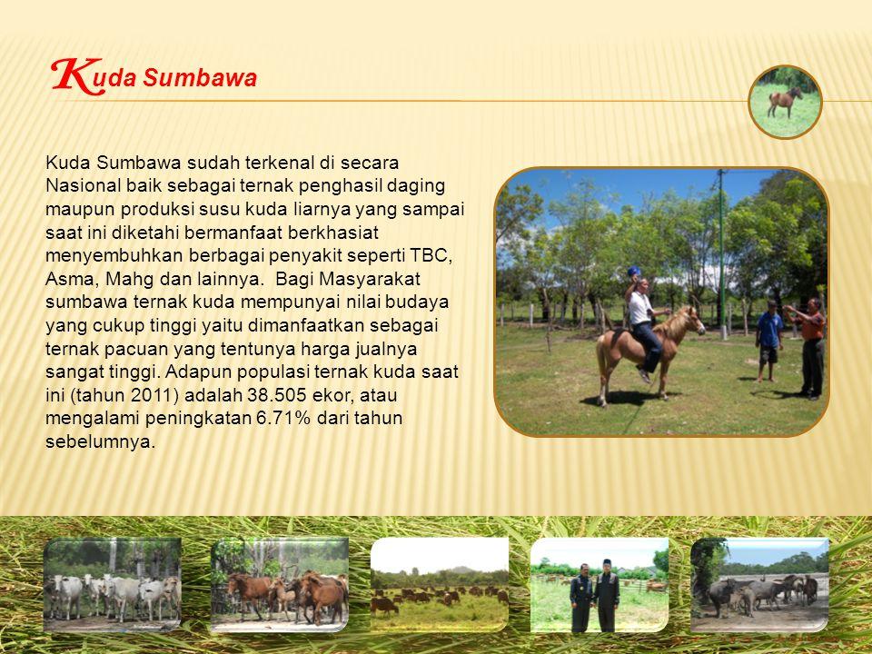 uda Sumbawa Kuda Sumbawa sudah terkenal di secara Nasional baik sebagai ternak penghasil daging maupun produksi susu kuda liarnya yang sampai saat ini diketahi bermanfaat berkhasiat menyembuhkan berbagai penyakit seperti TBC, Asma, Mahg dan lainnya.