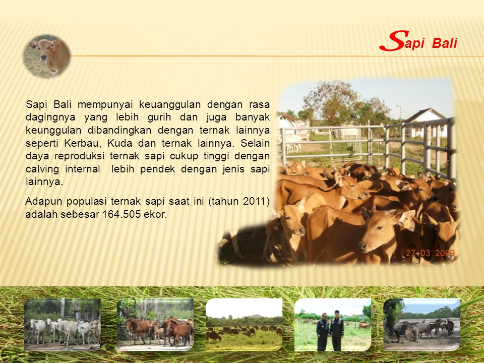 Sapi Bali mempunyai keuanggulan dengan rasa dagingnya yang lebih gurih dan juga banyak keunggulan dibandingkan dengan ternak lainnya seperti Kerbau, K
