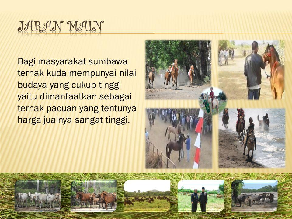 Bagi masyarakat sumbawa ternak kuda mempunyai nilai budaya yang cukup tinggi yaitu dimanfaatkan sebagai ternak pacuan yang tentunya harga jualnya sangat tinggi.