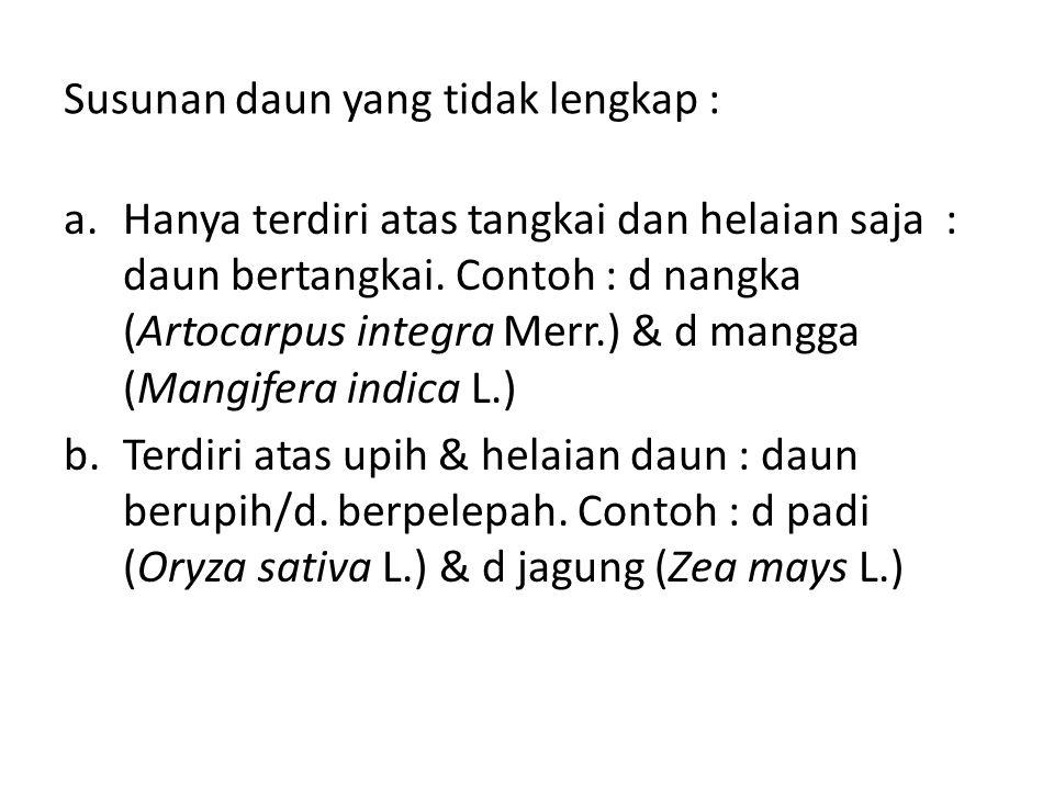 Susunan daun yang tidak lengkap : a.Hanya terdiri atas tangkai dan helaian saja : daun bertangkai. Contoh : d nangka (Artocarpus integra Merr.) & d ma
