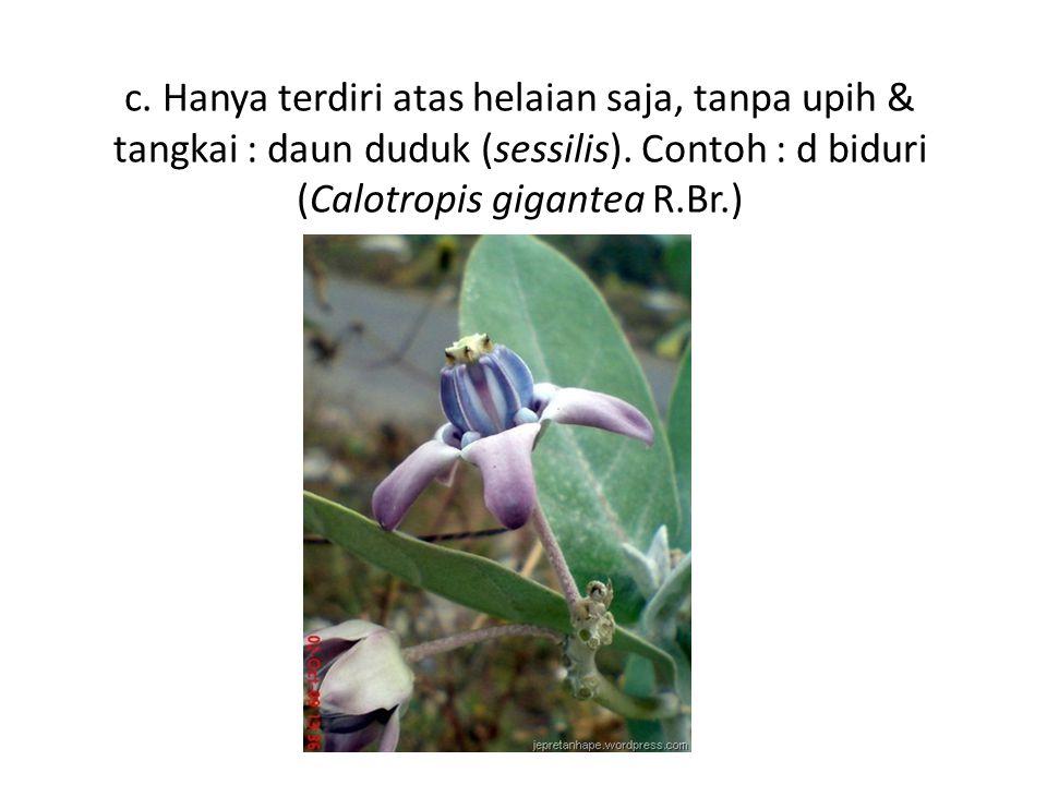 c. Hanya terdiri atas helaian saja, tanpa upih & tangkai : daun duduk (sessilis). Contoh : d biduri (Calotropis gigantea R.Br.)