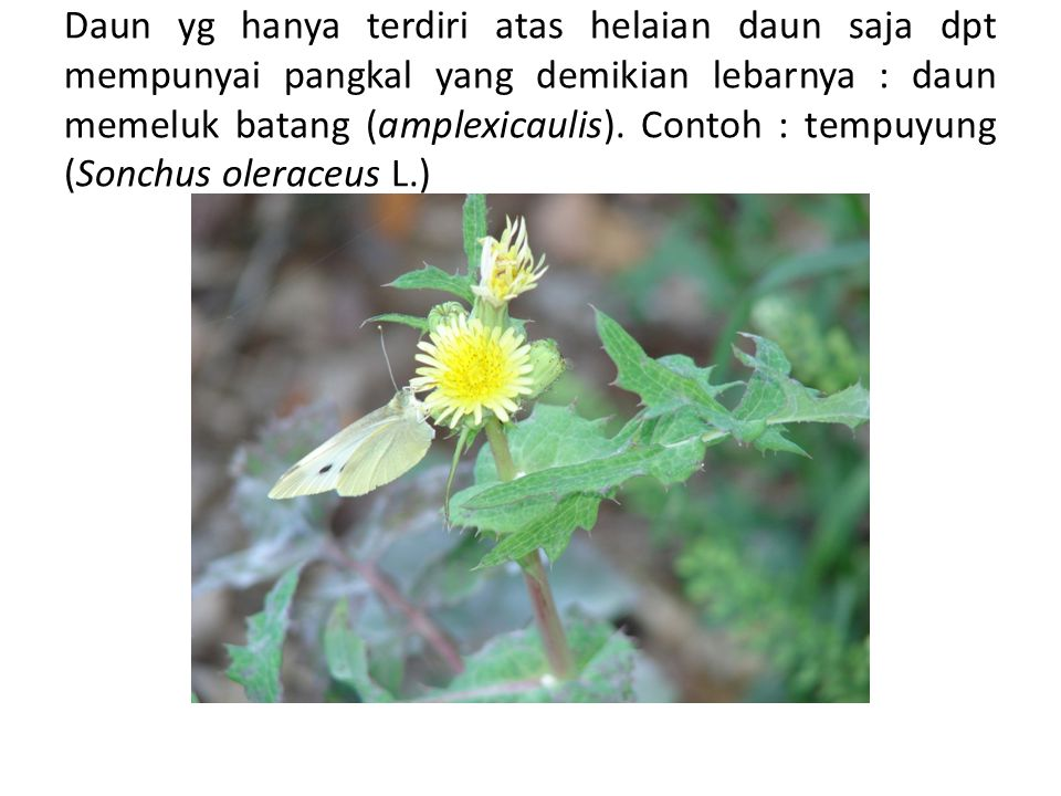 Daun yg hanya terdiri atas helaian daun saja dpt mempunyai pangkal yang demikian lebarnya : daun memeluk batang (amplexicaulis). Contoh : tempuyung (S