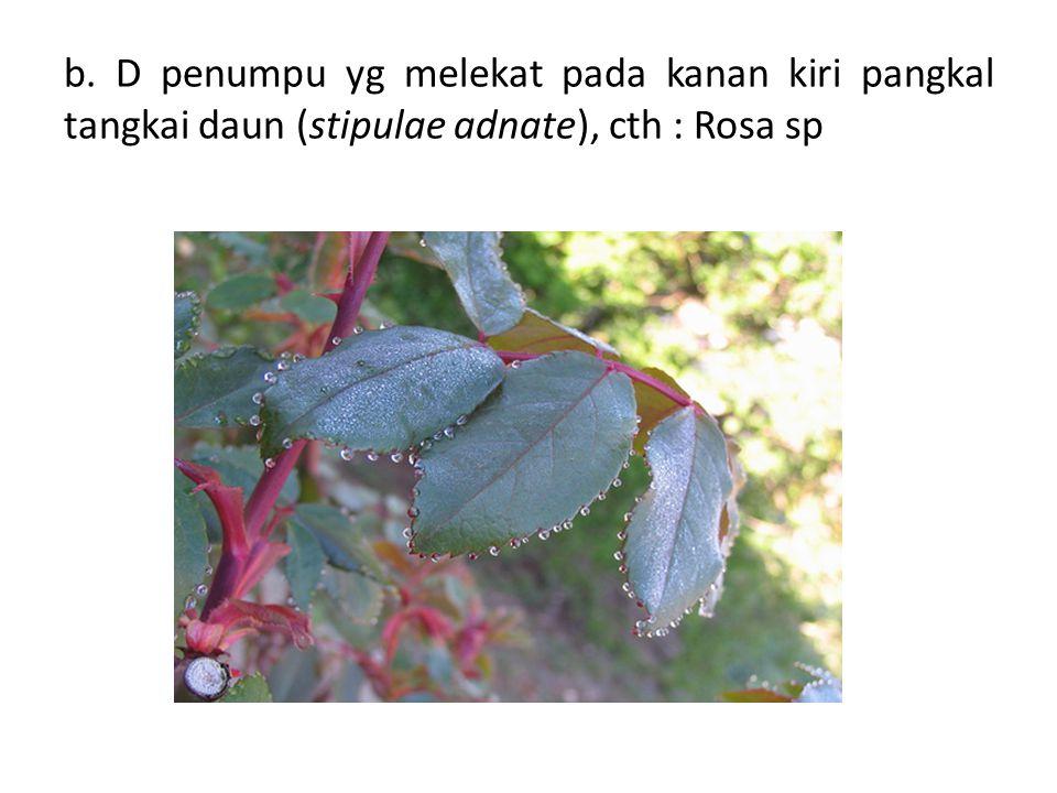b. D penumpu yg melekat pada kanan kiri pangkal tangkai daun (stipulae adnate), cth : Rosa sp