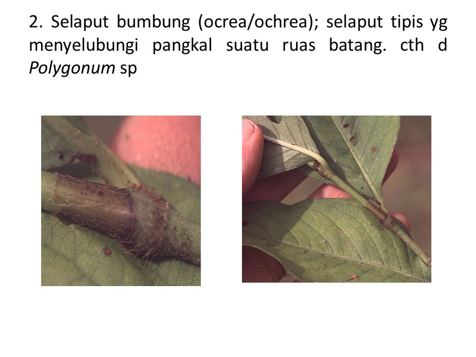 2. Selaput bumbung (ocrea/ochrea); selaput tipis yg menyelubungi pangkal suatu ruas batang. cth d Polygonum sp
