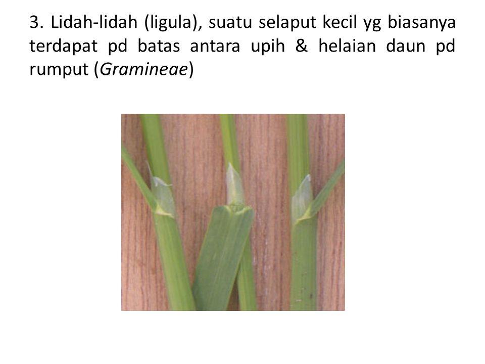 3. Lidah-lidah (ligula), suatu selaput kecil yg biasanya terdapat pd batas antara upih & helaian daun pd rumput (Gramineae)