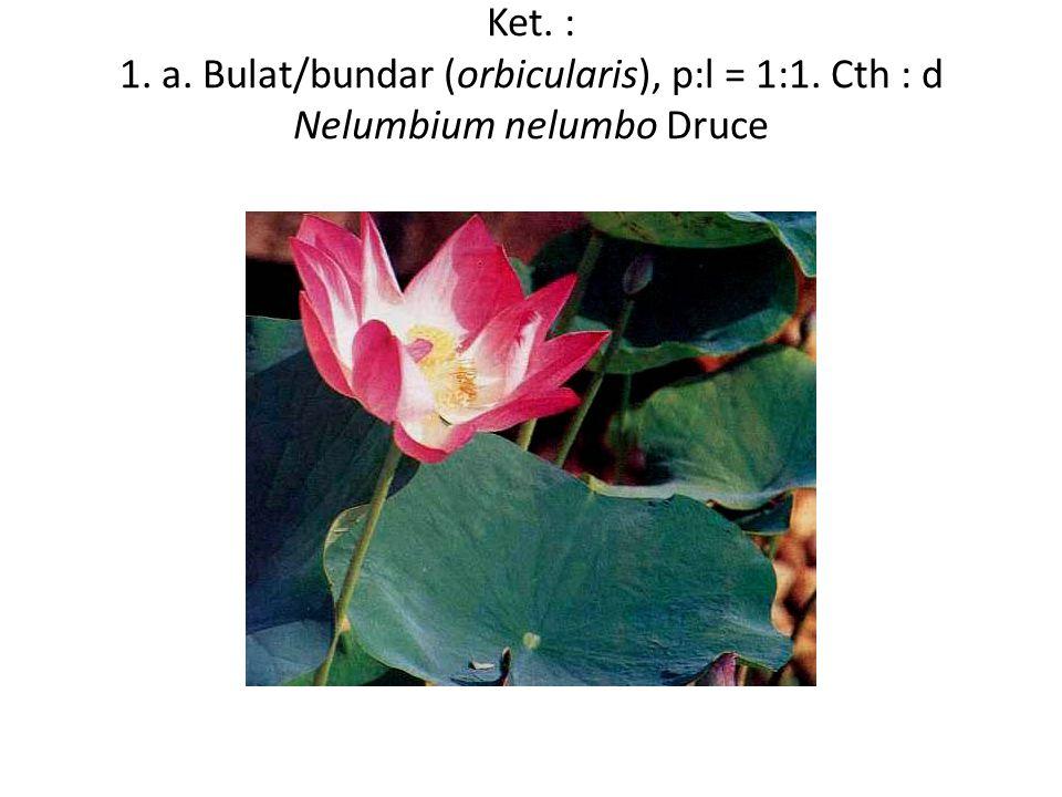 Ket. : 1. a. Bulat/bundar (orbicularis), p:l = 1:1. Cth : d Nelumbium nelumbo Druce