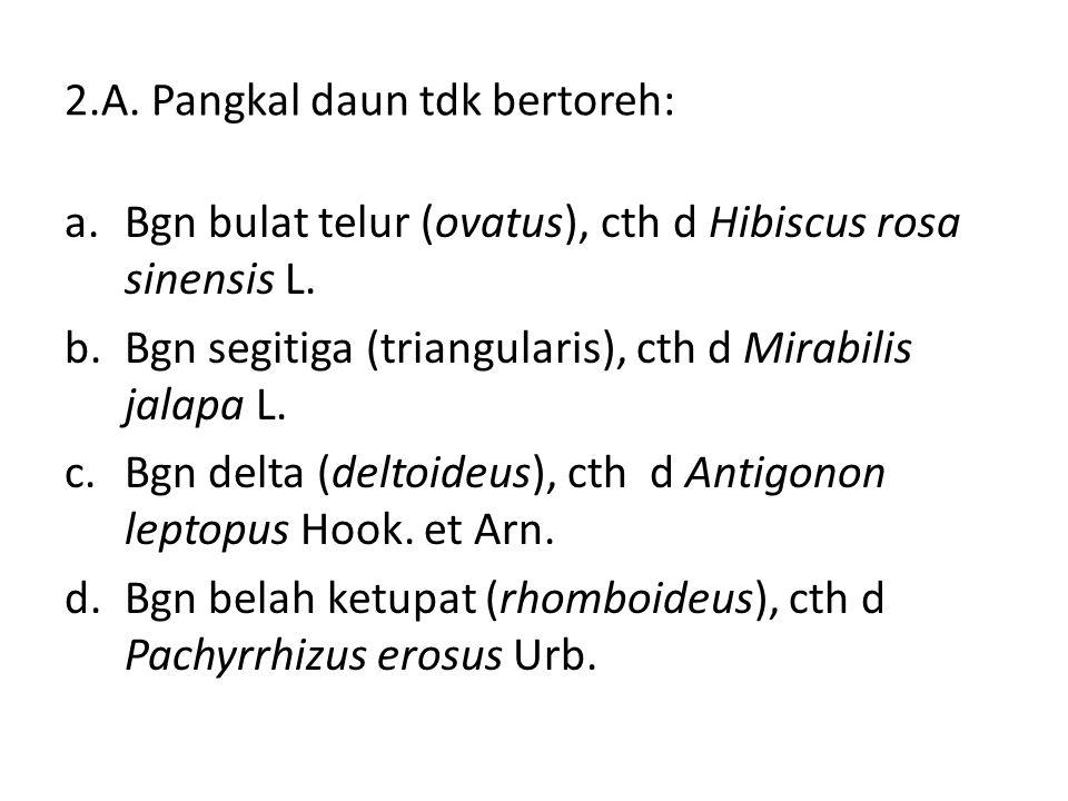 2.A. Pangkal daun tdk bertoreh: a.Bgn bulat telur (ovatus), cth d Hibiscus rosa sinensis L. b.Bgn segitiga (triangularis), cth d Mirabilis jalapa L. c