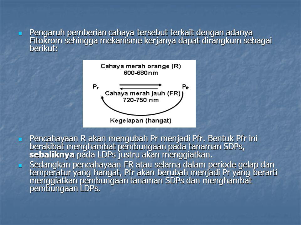 Pengaruh pemberian cahaya tersebut terkait dengan adanya Fitokrom sehingga mekanisme kerjanya dapat dirangkum sebagai berikut: Pengaruh pemberian cahaya tersebut terkait dengan adanya Fitokrom sehingga mekanisme kerjanya dapat dirangkum sebagai berikut: Pencahayaan R akan mengubah Pr menjadi Pfr.