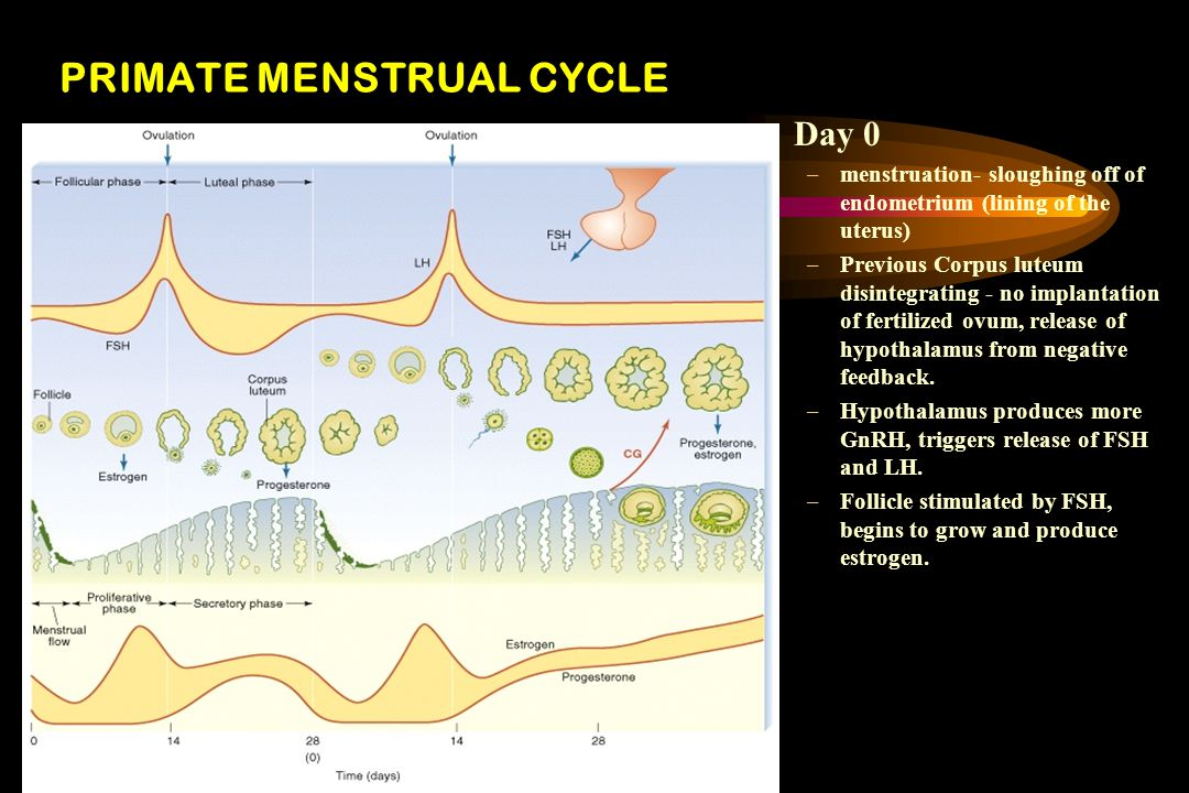 PRIMATE MENSTRUAL CYCLE Day 0 –menstruation- sloughing off of endometrium (lining of the uterus) –Previous Corpus luteum disintegrating - no implantation of fertilized ovum, release of hypothalamus from negative feedback.