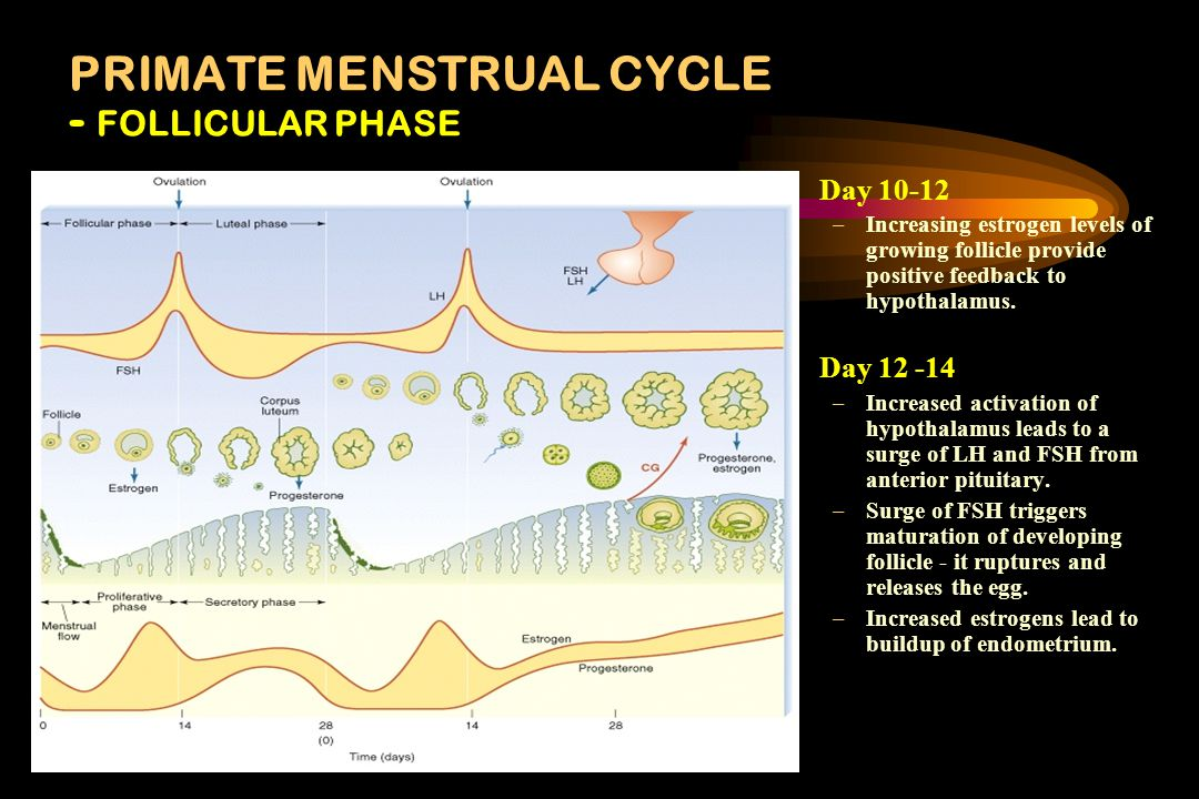 PRIMATE MENSTRUAL CYCLE Day 0 –menstruation- sloughing off of endometrium (lining of the uterus) –Previous Corpus luteum disintegrating - no implantat
