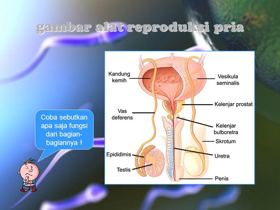 gambar alat reproduksi pria Coba sebutkan apa saja fungsi dari bagian- bagiannya !