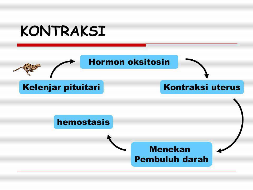 KONTRAKSI Kelenjar pituitari Hormon oksitosin Kontraksi uterus Menekan Pembuluh darah hemostasis