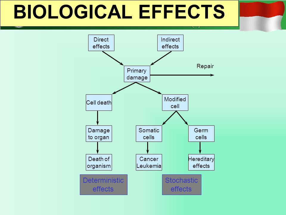 Direct effects Indirect effects Cell death Primary damage Modified cell Damage to organ Somatic cells Germ cells Hereditary effects Cancer Leukemia De
