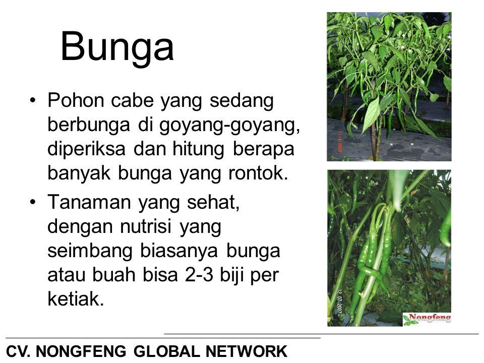 Bunga Pohon cabe yang sedang berbunga di goyang-goyang, diperiksa dan hitung berapa banyak bunga yang rontok. Tanaman yang sehat, dengan nutrisi yang