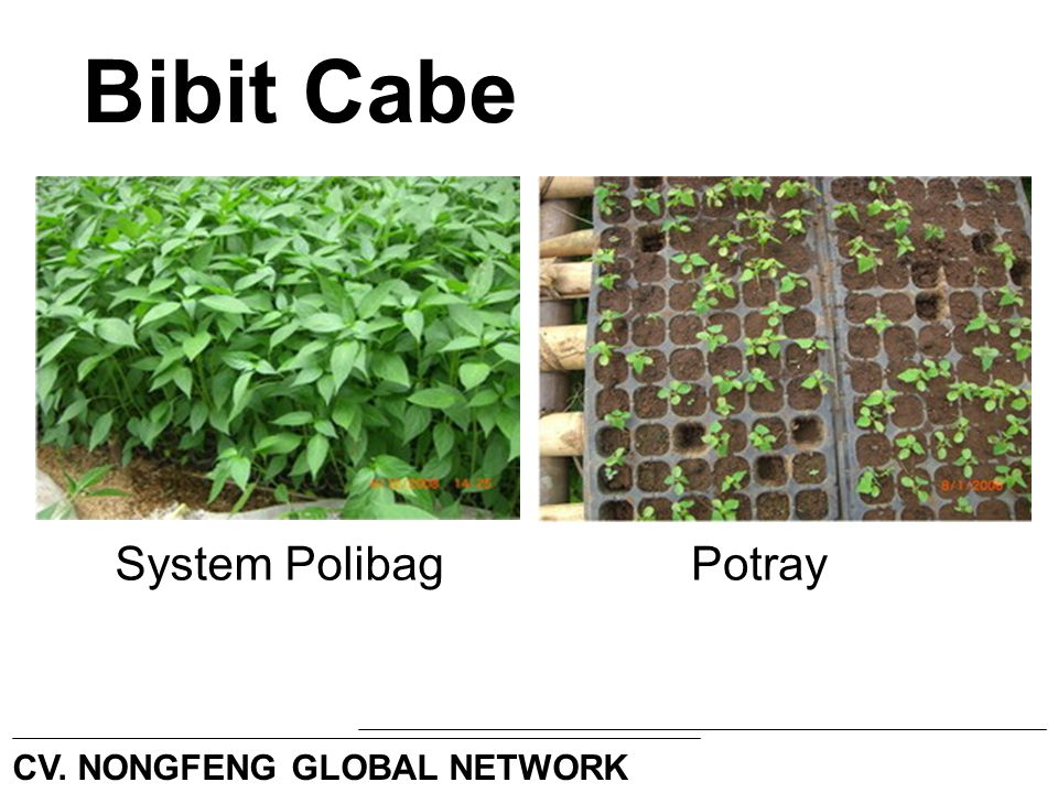 Bibit Cabe System PolibagPotray CV. NONGFENG GLOBAL NETWORK