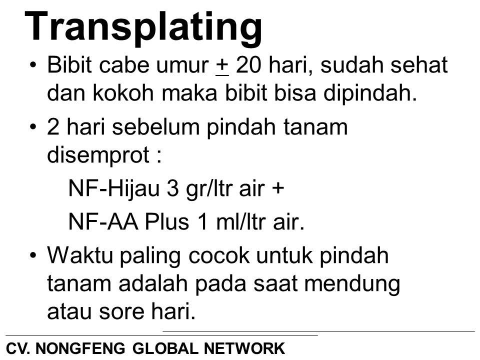 Transplating Bibit cabe umur + 20 hari, sudah sehat dan kokoh maka bibit bisa dipindah. 2 hari sebelum pindah tanam disemprot : NF-Hijau 3 gr/ltr air