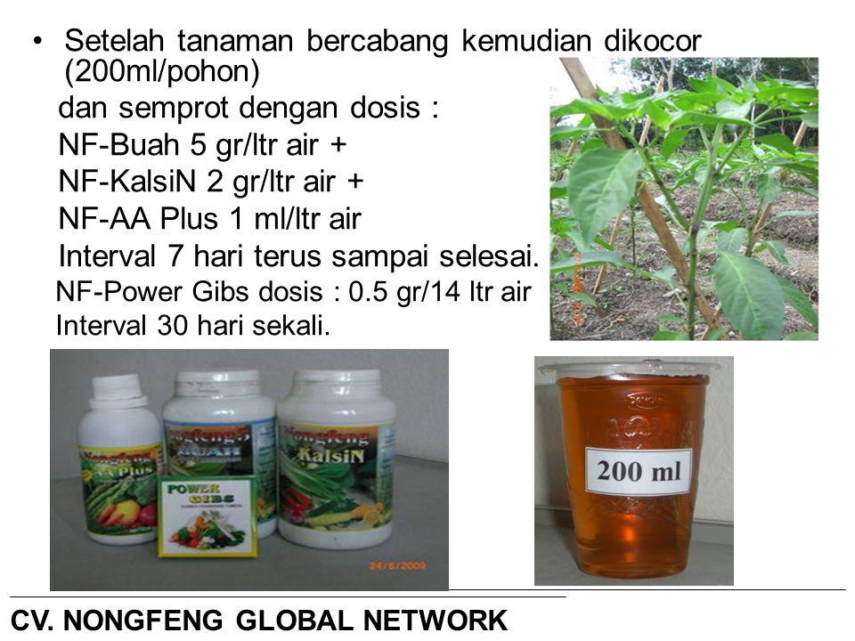Setelah tanaman bercabang kemudian dikocor (200ml/pohon) dan semprot dengan dosis : NF-Buah 5 gr/ltr air + NF-KalsiN 2 gr/ltr air + NF-AA Plus 1 ml/lt
