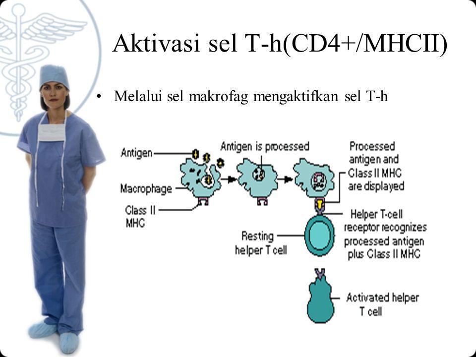 Aktivasi sel T-h(CD4+/MHCII) Melalui sel makrofag mengaktifkan sel T-h