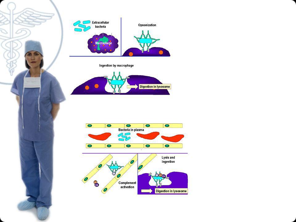 Aktivasi sel B membentuk Ig Pembentukan Ig spesifik