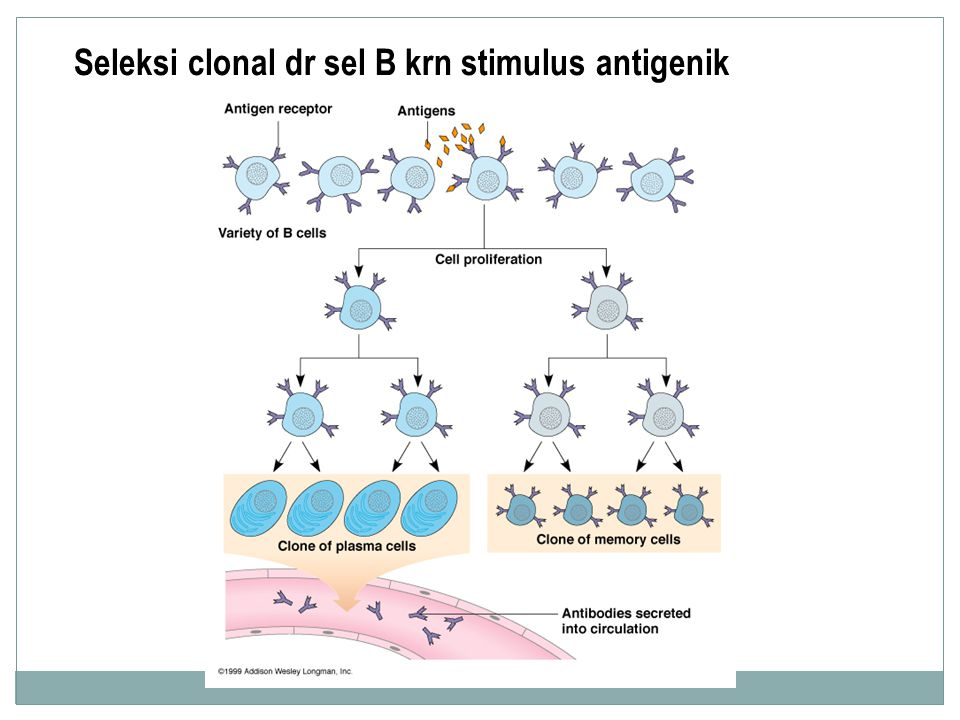 Seleksi clonal dr sel B krn stimulus antigenik