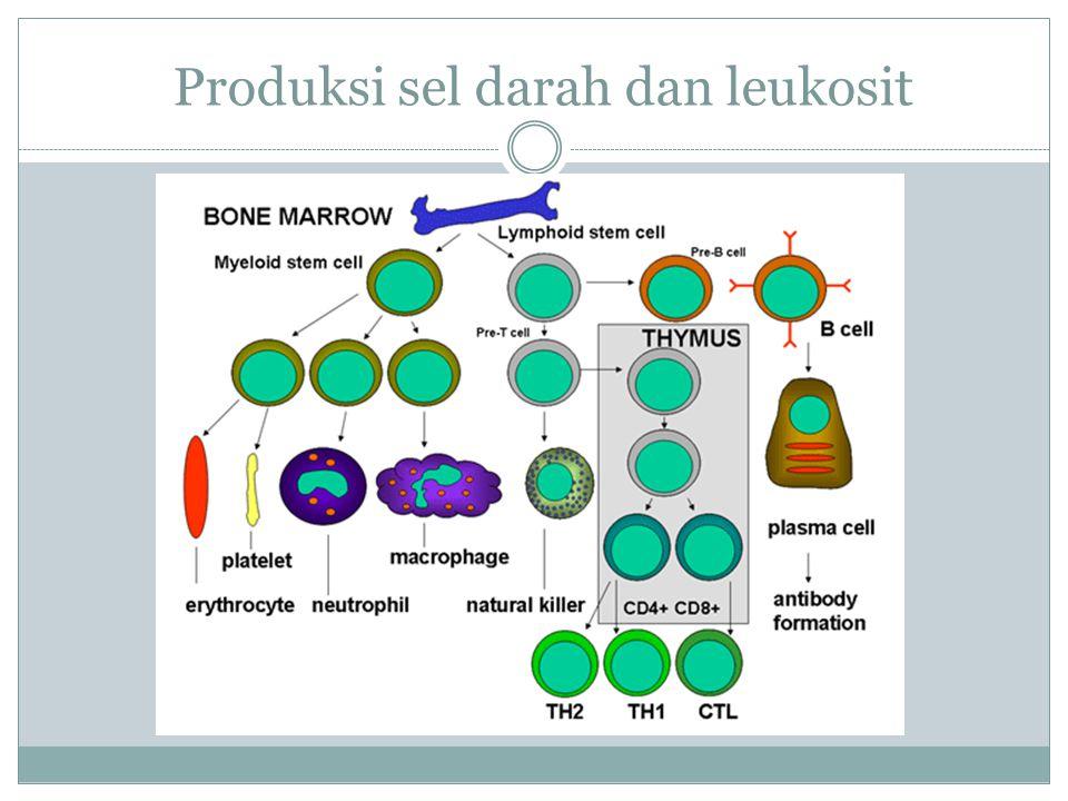 Produksi sel darah dan leukosit