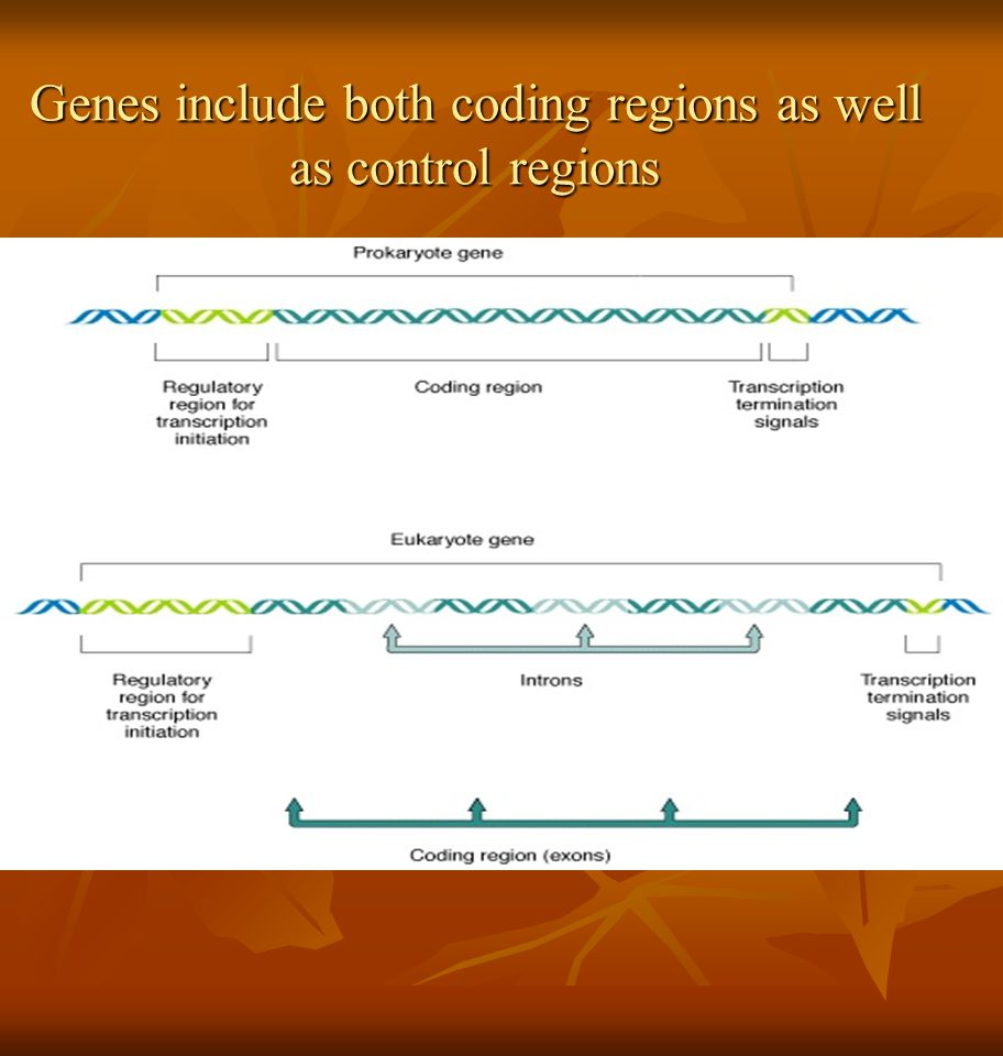 Genes include both coding regions as well as control regions