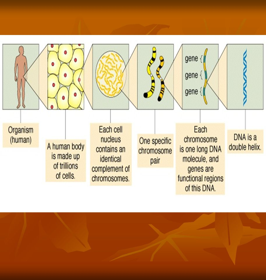 Genes genes are the basic units of heredity genes are the basic units of heredity a gene is a sequence of bases that carries the information required for constructing a particular protein (polypeptide really) a gene is a sequence of bases that carries the information required for constructing a particular protein (polypeptide really) such a gene is said to encode a protein such a gene is said to encode a protein the human genome comprises ~ 35,000 genes the human genome comprises ~ 35,000 genes Those genes encode > 100,000 polypeptides Those genes encode > 100,000 polypeptides