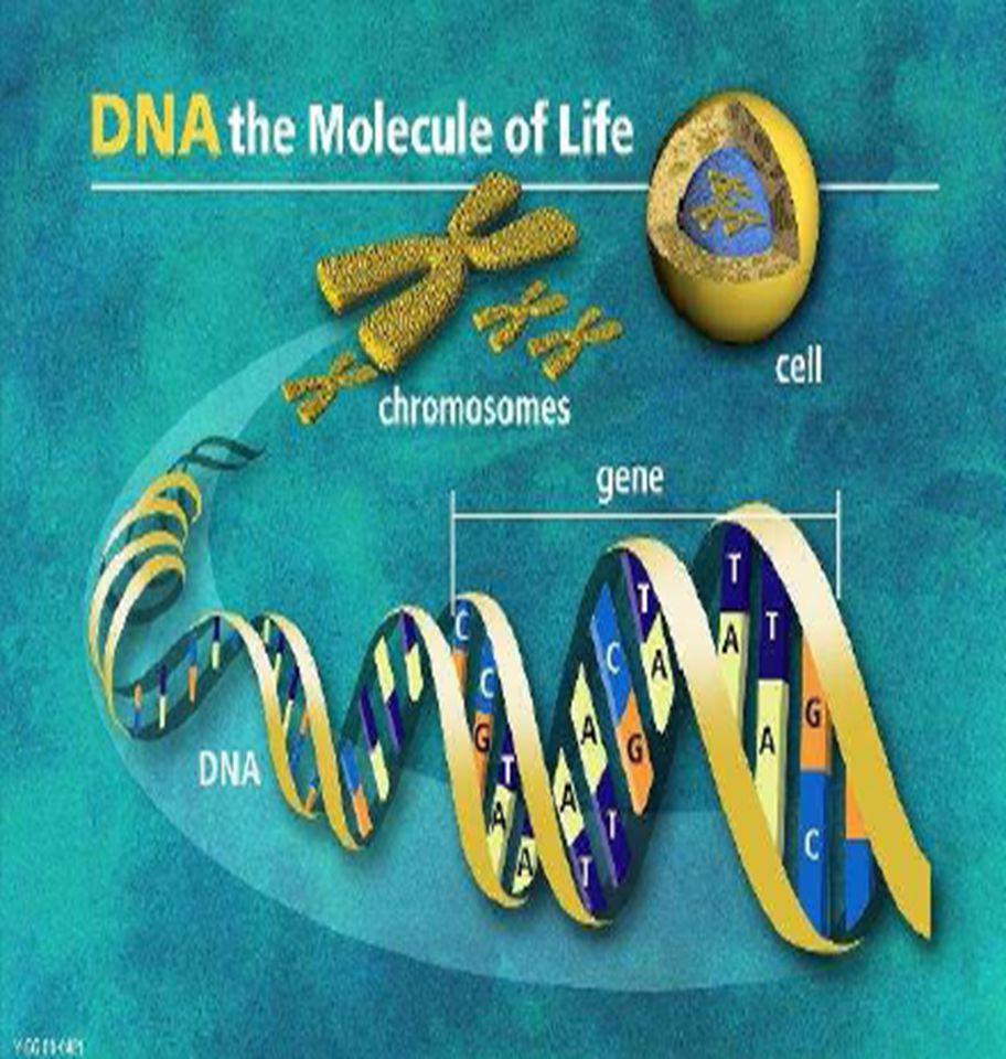 Structure of eukaryotic gene