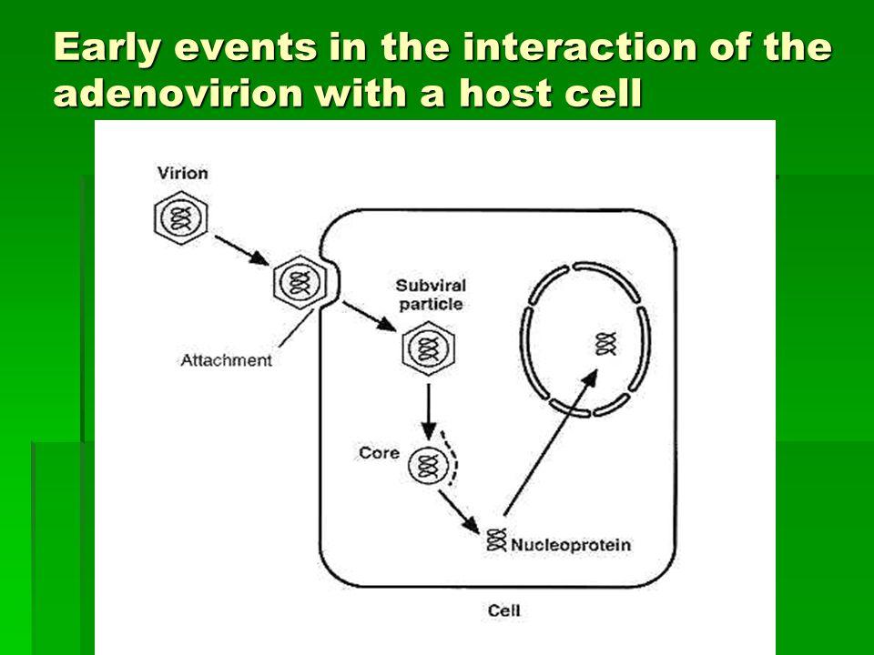 Structural model of the adenovirus virion