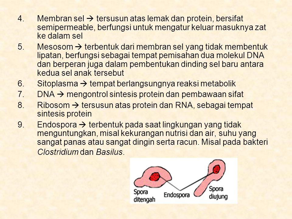 4.Membran sel  tersusun atas lemak dan protein, bersifat semipermeable, berfungsi untuk mengatur keluar masuknya zat ke dalam sel 5.Mesosom  terbentuk dari membran sel yang tidak membentuk lipatan, berfungsi sebagai tempat pemisahan dua molekul DNA dan berperan juga dalam pembentukan dinding sel baru antara kedua sel anak tersebut 6.Sitoplasma  tempat berlangsungnya reaksi metabolik 7.DNA  mengontrol sintesis protein dan pembawaan sifat 8.Ribosom  tersusun atas protein dan RNA, sebagai tempat sintesis protein 9.Endospora  terbentuk pada saat lingkungan yang tidak menguntungkan, misal kekurangan nutrisi dan air, suhu yang sangat panas atau sangat dingin serta racun.