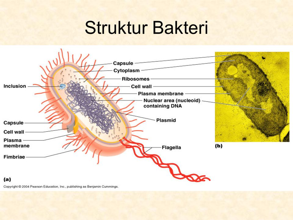 1.Dinding sel  mukopolisakarida dan peptidoglikan (murein) yaitu susunan yang terdiri dari polimerbesar dan terbuat dari N – asetil glukosamin dan asam N – asetil muramat yang saling berikatan silang dengan ikatan kovalen 2.Kapsul  selaput licin terdiri dari polisakarida terletak di luar dinding sel, bakteri yang patogen memiliki kapsul berfungsi mempertahankan diri dari antitoksin yang dihasilkan sel inang.