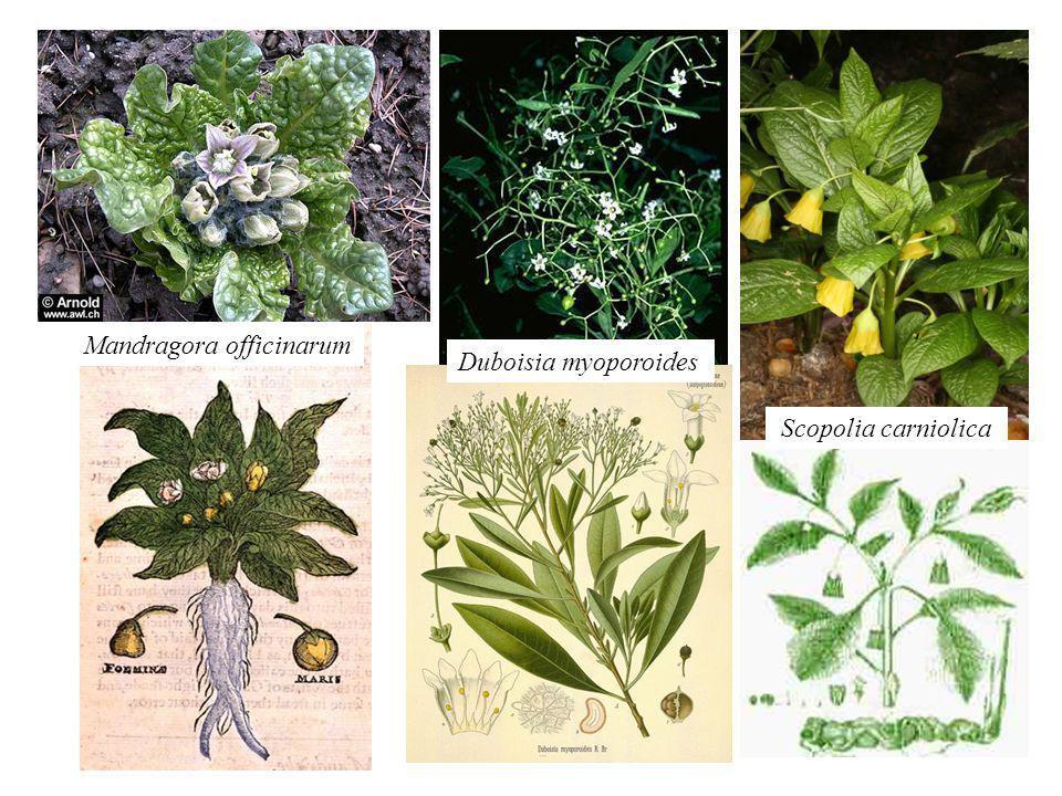 Mandragora officinarum Duboisia myoporoides Scopolia carniolica