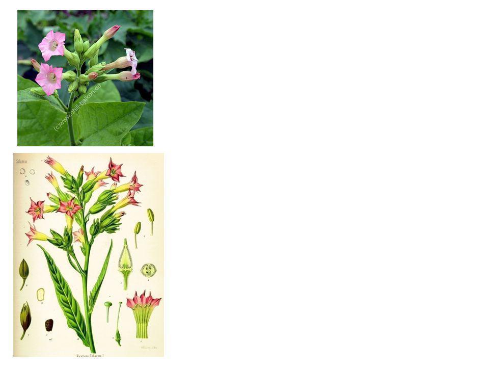 Nicotiana tabacum 0,6-9% (-)-nikotin selain anabasin dan nornikotin Di daun berada dalam bentuk garam dengan asam sitrat atau malat Nikotin dalam kada