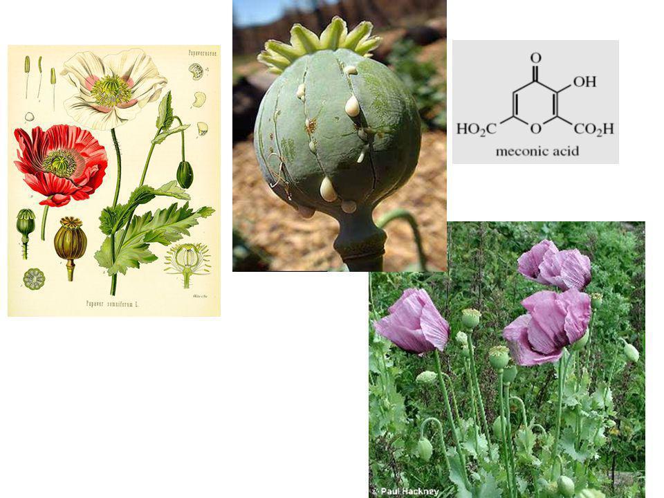 Papaver somniferum Opium Laudanum Papaveretum: campuran garam HCl Opioid