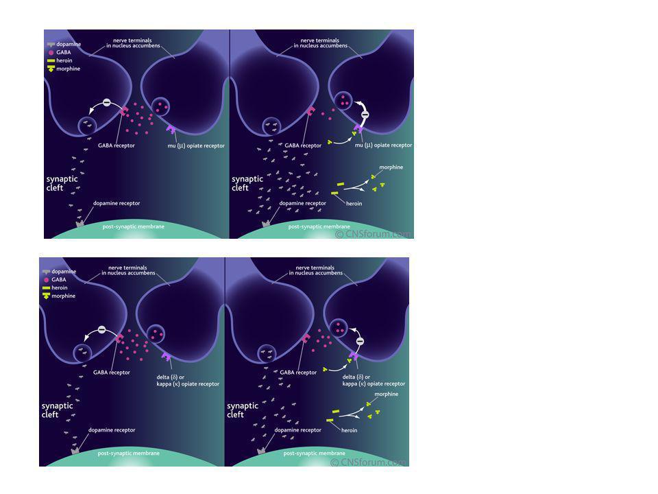 Heroin memodifikasi aksi dopamin di Brain's reward pathway. Ketika melalui BBB, heroin diubah menjadi morfin yang berfungsi sebagai agonis lemah pada