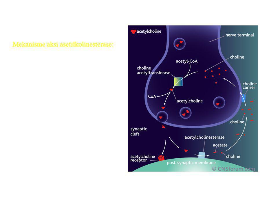 Mekanisme aksi asetilkolinesterase: Transmisi saraf cholinergik diakhiri oleh enzim asetilcholinesterase (AchE). AchE ditemukan baik di post sinaptik