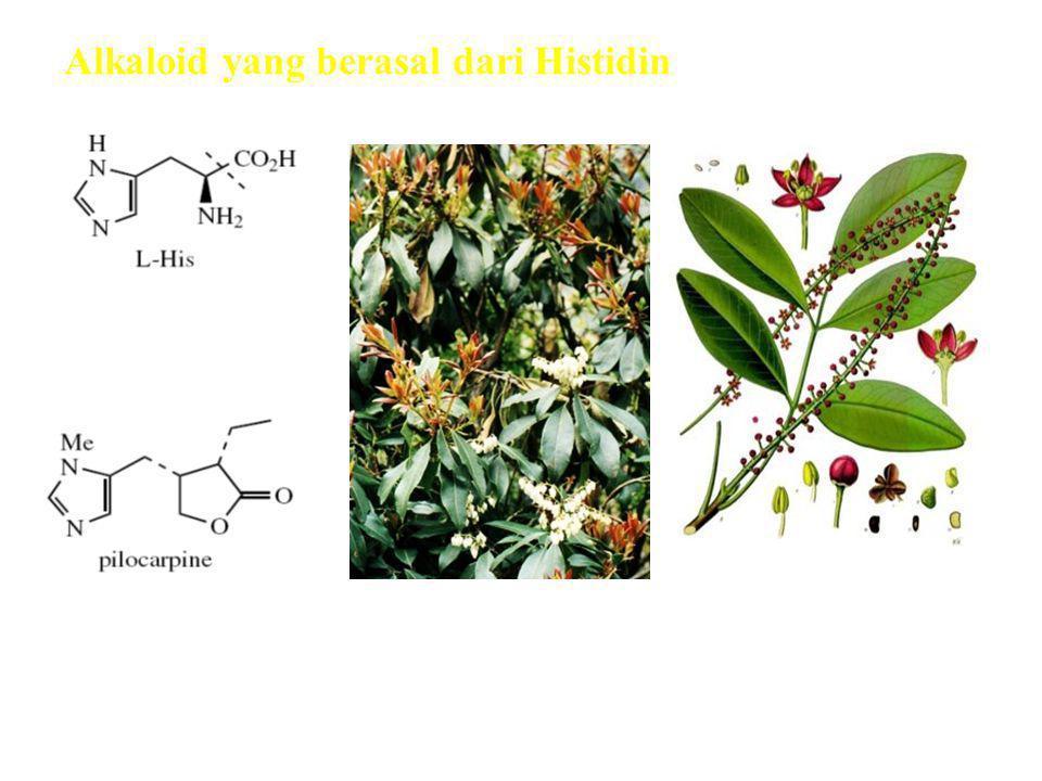 Alkaloid yang berasal dari Histidin Alkaloid imidazole Pilocarpus jaborandi