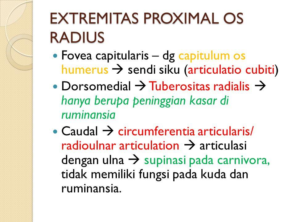 EXTREMITAS PROXIMAL OS RADIUS Fovea capitularis – dg capitulum os humerus  sendi siku (articulatio cubiti) Dorsomedial  Tuberositas radialis  hanya berupa peninggian kasar di ruminansia Caudal  circumferentia articularis/ radioulnar articulation  articulasi dengan ulna  supinasi pada carnivora, tidak memiliki fungsi pada kuda dan ruminansia.