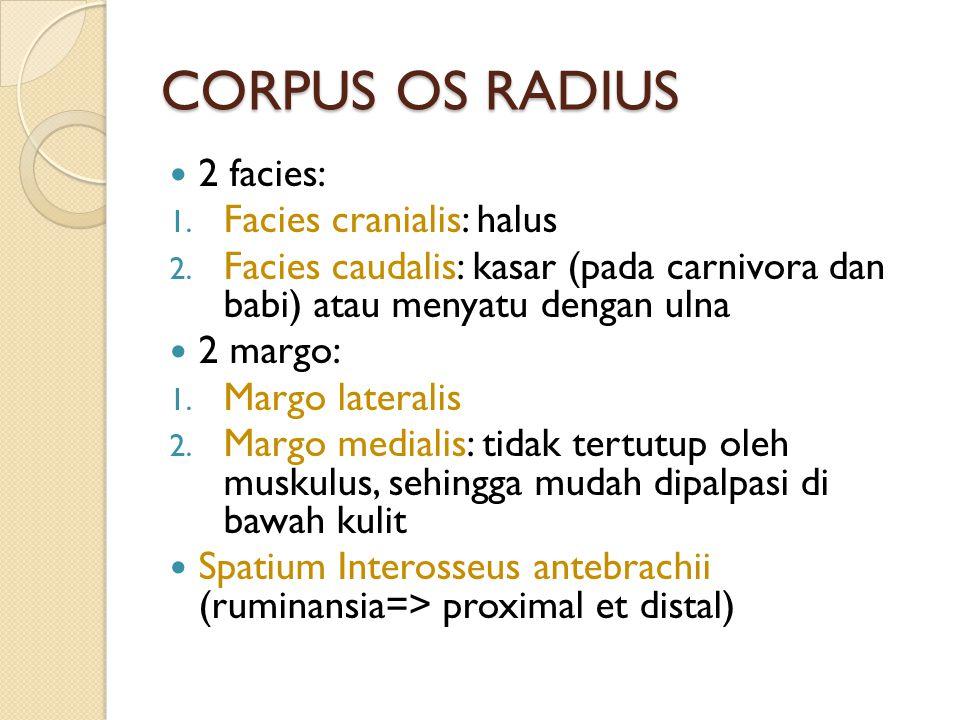 CORPUS OS RADIUS 2 facies: 1. Facies cranialis: halus 2. Facies caudalis: kasar (pada carnivora dan babi) atau menyatu dengan ulna 2 margo: 1. Margo l