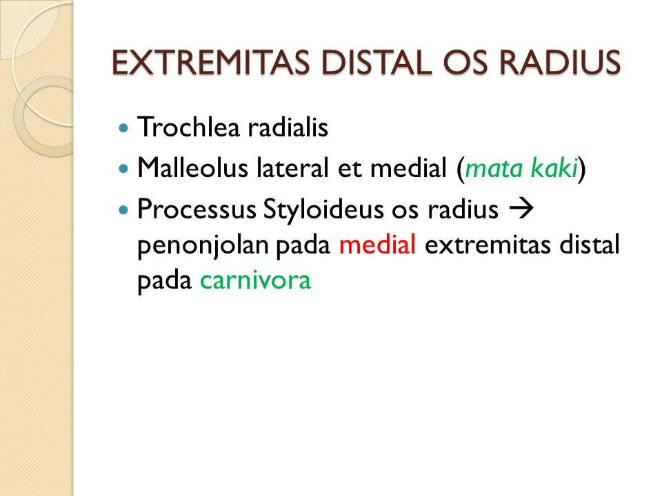 EXTREMITAS DISTAL OS RADIUS Trochlea radialis Malleolus lateral et medial (mata kaki) Processus Styloideus os radius  penonjolan pada medial extremitas distal pada carnivora