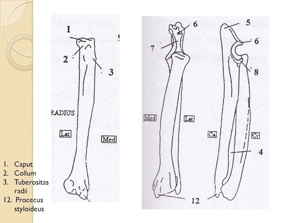 1.Caput 2.Collum 3.Tuberositas radii 12. Procecus styloideus
