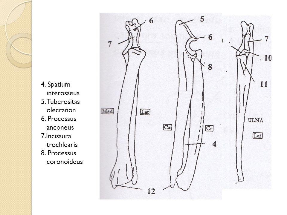4. Spatium interosseus 5. Tuberositas olecranon 6. Processus anconeus 7.Incissura trochlearis 8. Processus coronoideus