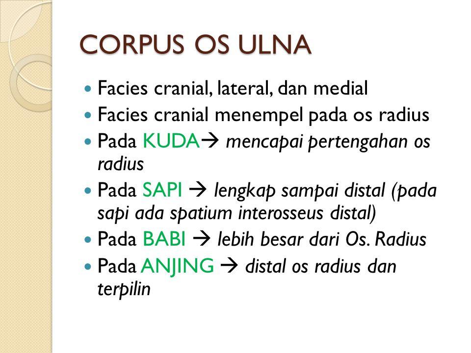 CORPUS OS ULNA Facies cranial, lateral, dan medial Facies cranial menempel pada os radius Pada KUDA  mencapai pertengahan os radius Pada SAPI  lengk